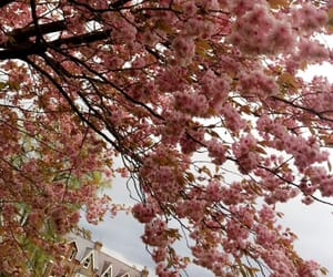 pink, spring, and cherryblossom image