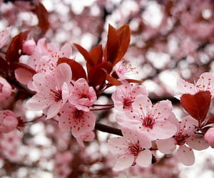 flowers, cherry blossom, and background image