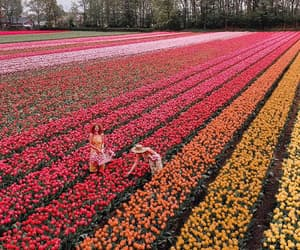 flowers, netherlands, and colors image
