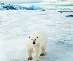 Polar Bear, ice, and winter image