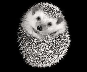 hedgehog, baby animals, and cute animals image