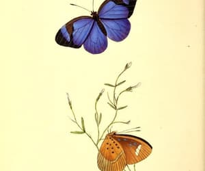 butterflies, scientific illustration, and lepidoptera image