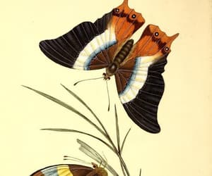 butterflies, scientific illustration, and insects image