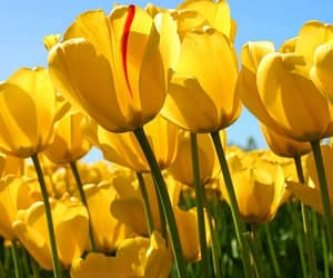 amarelo, pictureperfect, and tulipa image
