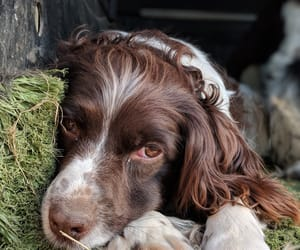 favourite, spaniel, and doggo image