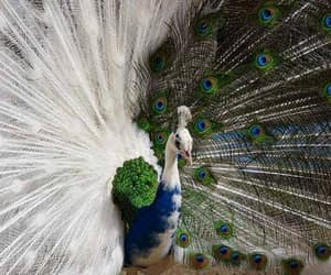 peafowl, instantfave, and bird image