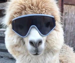 cool, lama, and random image