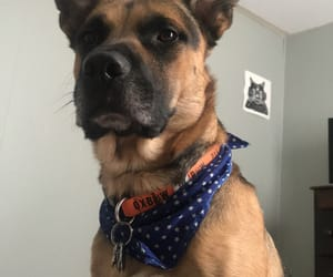 cachorro, german shepherd, and dog image