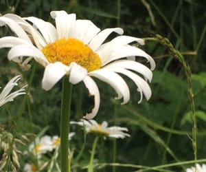 daisy, grass, and photography image