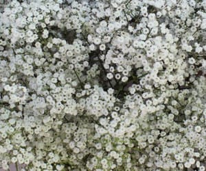 baby breath flower and baby's breath flower image