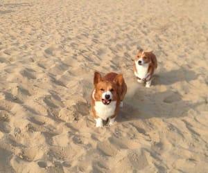 corgis, cute, and dogs image
