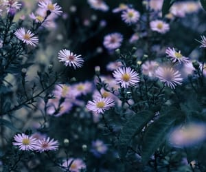 Aster and flowers image