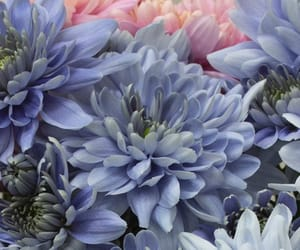 background, blue flowers, and chrysanthemum image