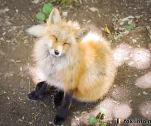 animals, red fox, and fox image