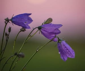 finland, purple flower, and flower image