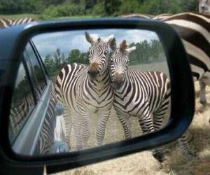 zebra and mirror image