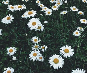 daisies, daisy, and field image
