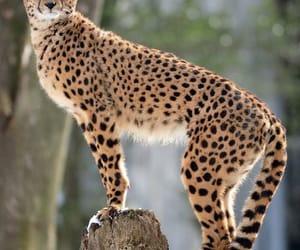 cheetah, feline, and animal image