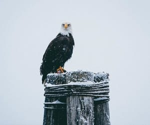 aesthetic, bird, and eagle image