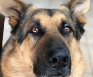animals, gsd, and dogs image