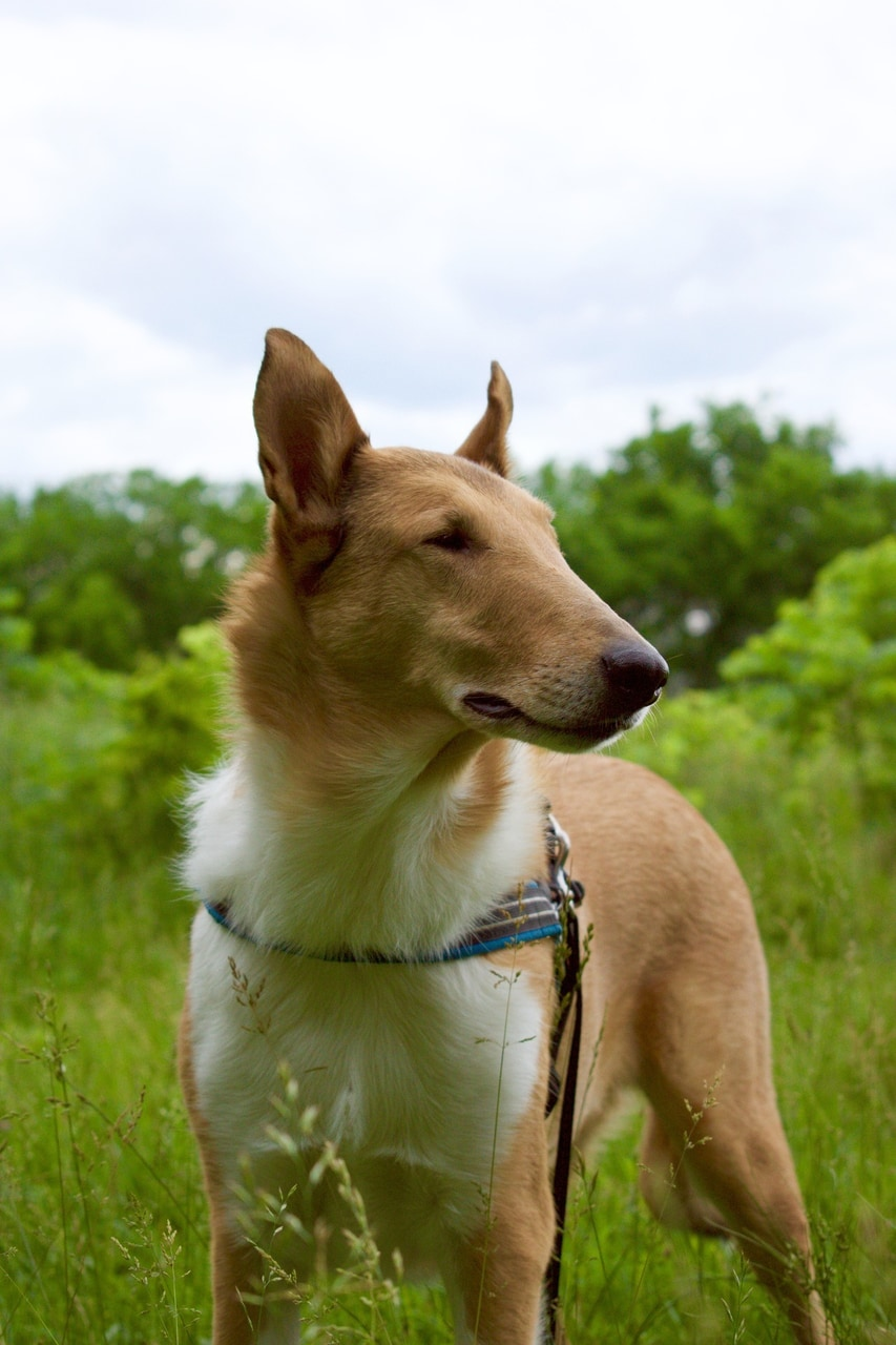 animals, collie, and pets image