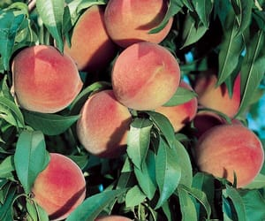 peach, nature, and aesthetic image