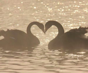 Swan, love, and aesthetic image