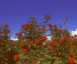 aesthetics, nature, and red roses image