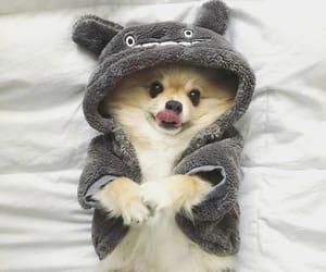 adorable, pomeranian, and animal image