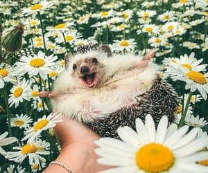animal, hedgehog, and daisy image