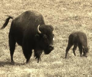 buffalo, buffalo momma calf, and calf buffalo. sepia image