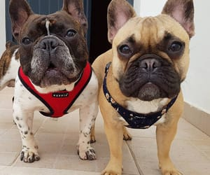 animals, dogs, and frenchies image