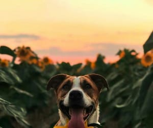 dog, perrito, and sunflowers image