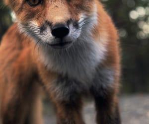 animal fox image