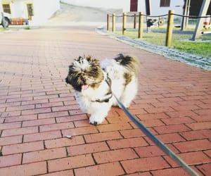 dog, happy, and shih tzu image