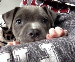 animals, baby, and pitbull image
