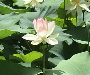 flower, japan, and lotus flower image