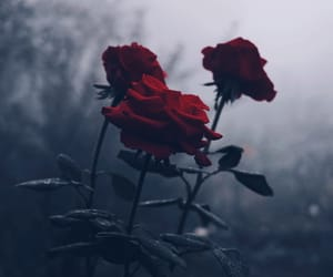 aesthetic, red, and roses image