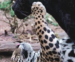 Animales, leopardo, and pantera image