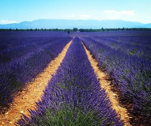 lavender, provence, and south of france image