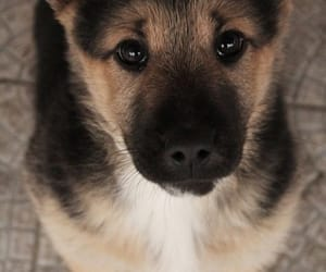 dog, puppy, and german sheppard image