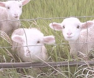 lamb, animal, and cute image