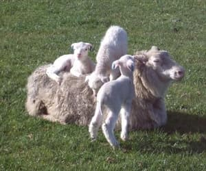animals, lambs, and pretty image