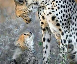 animal, cheetah, and wild image