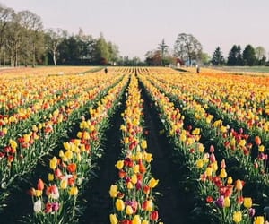 field, tulips, and yellow image