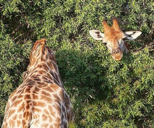 animal, giraffe, and green image