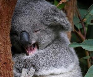 Koala, animal, and nature image