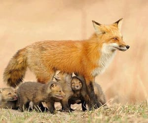 fox, animal, and cute animals image