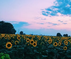 evening, photography, and sunflower image