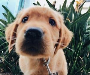 cutie, golden retriever, and pup image